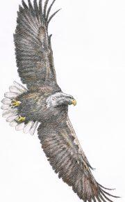 Landesverband für Vogelschutz e.V. : Illustration : Buntstift